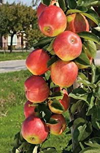 jonagold apfelbaum