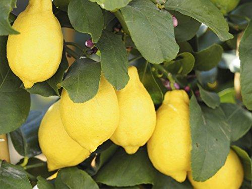 citrus-lemon-tree-20-25cm-tall-in-a-2l-pot-ready-to-fruit