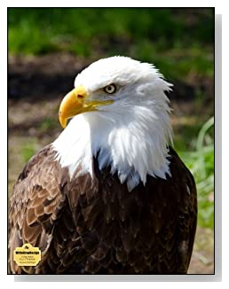 American Bald Eagle Notebook - A regal image of the American Bald Eagle graces the cover of this college ruled notebook.