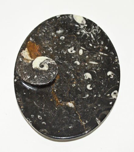 oval-carved-black-dish-soap-holder-desk-tidy-with-ammonoids-and-orthoceras-fossils-throughout-from-p