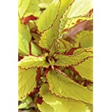 COLEUS SEEDS -Wizard Pineapple a.K.a Flame Nettle, Painted Nettle(500 Seeds)