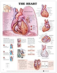 The Heart Anatomical Chart