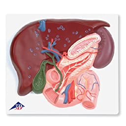 3B Scientific VE315 Liver with Gall Bladder, Pancreas and Duodenum Model, 1.6\