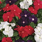 VINCA ROSEA - Dwarf Pecifica Large Flower Mixed - Pack Of 50 Seeds By Seedscare India