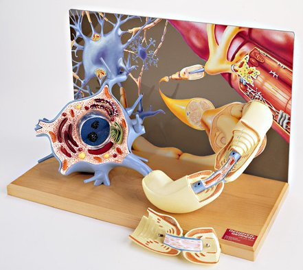 Denoyer-Geppert 3-D Motor Neuron Diorama Model (Neurons Model compare prices)