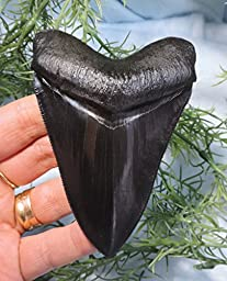 Super Serrated 4 Long Megalodon Tooth Replica!!