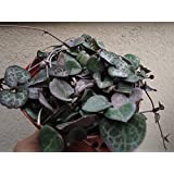 Large String of Hearts Succulent-Ceropegia Woodii
