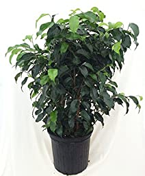 Jmbamboo - Midnight Weeping Fig Tree - Ficus - Great Indoor Tree for Low Light - 4\