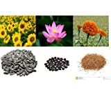 alkarty sunflower lotus and sungold seed