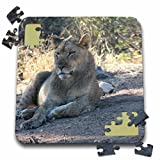 Angelique Cajam Big Cat Safari - Young lion relaxing in the grass - 10x10 Inch Puzzle (pzl_26831_2)