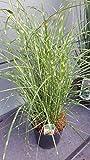 NEUHEIT Zwerg - Zebragras Miscanthus sinensis Little Zebra ® im