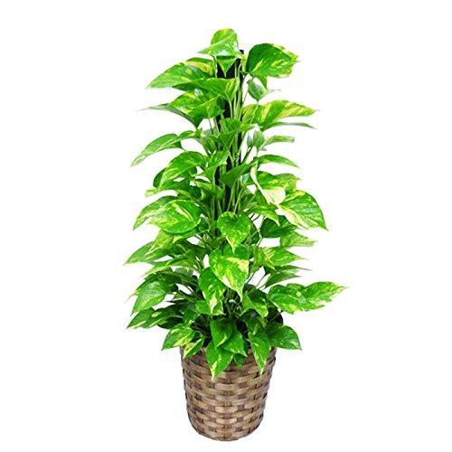 ポトス ヘゴ仕立て 観葉植物 鉢カバー付 育てやすく丈夫 インテリア