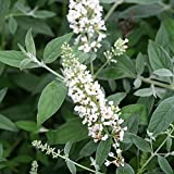 Lo & Behold Ice Chip ColorChoice Buddleia 4.5 inch Quart Butterfly Bush SHrub