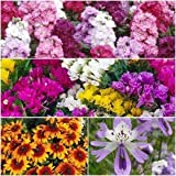 Seedscare Winter Flower 4 Types Seeds Combo (Stock, Statice, Rudbeckia And Cleome)