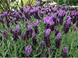 12 x French Lavender LAVENDULA STOECHAS - SANCHO PANZA - Plug Plants - Pre order / Reserve for April 2014