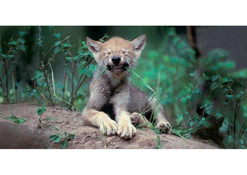 xxl-postkarte-geo-von-modern-times-wolfswelpe-xxl-bkedition-geo-c-art-wolfe
