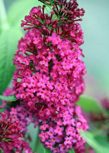 Buddleia x 'Miss Molly' PPAF Butterfly Bush - Sangria Red -Proven Winners - One Quart Pot