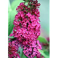 Buddleia x 'Miss Molly' Butterfly Bush - Sangria Red -Proven Winners- 4