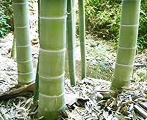 Amazon.com : 40 Moso Bamboo Seeds Phyllostachys Pubescens / Edulis