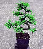 "Stylized Imported Japanese Zelkova Bonsai Tree - 4"" Pot"