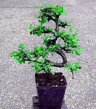 Buy Stylized Imported Japanese Zelkova Bonsai Tree