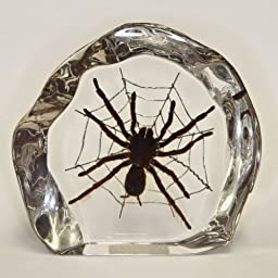 Real Tarantula in Acrylic Display