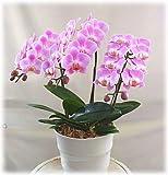 お祝い 誕生日に蘭の花 胡蝶蘭 3本立て ミディピンク 鉢植え