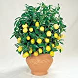 Meyer Dwarf Lemon Tree 35 Seeds indoor/outdoor