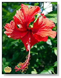 Red Hibiscus Flower Notebook - For flower and nature lovers! A beautiful red hibiscus fills the cover of this blank and college ruled notebook with blank pages on the left and lined pages on the right.