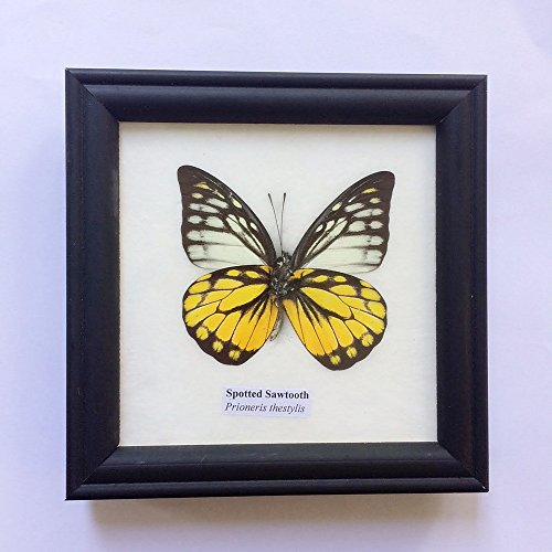 Real Spotted Sawtooth Butterfly Display Insect Gift Collectible Animals Taxidermy in Framed (Kudu Edge compare prices)