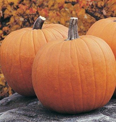 Pumpkin Big Rock D2363 (Orange) 25 Hybrid Seeds By David'S Garden Seeds