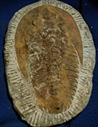 Trilobite Andalusiana sp. # 89