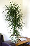Indoor Plant -House or Office Plant -Dracaena marginata - Madagascar Dragon Tree 1.2m
