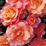 Sunrise Climbing Rose - Bare Root - Available Now - Great Gift Present