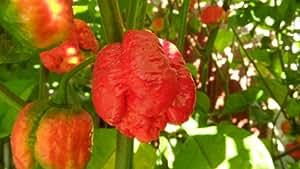 Trinidad Moruga Scorpion Hot Pepper Plants Combo pack!