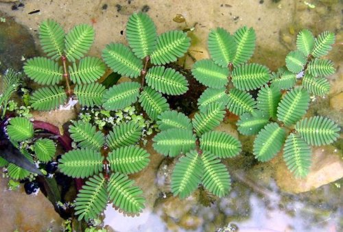 Sensitive Plant 40 Seeds -LEAVES MOVE- Tropical Sensitive Plant is an easy to grow house plant that snaps it's leaves shut when touched!