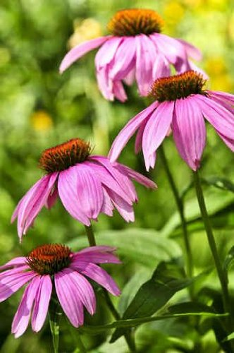 Blooming Medicinal Herb Echinacea Purpurea or Coneflower - 18