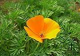 ゴールデンポピーEschscholziaカリフォルニ種子の180pcs、ファミリーケシ科カリフォルニアポピーの花の種子、カリフォルニアの太陽の光の種子