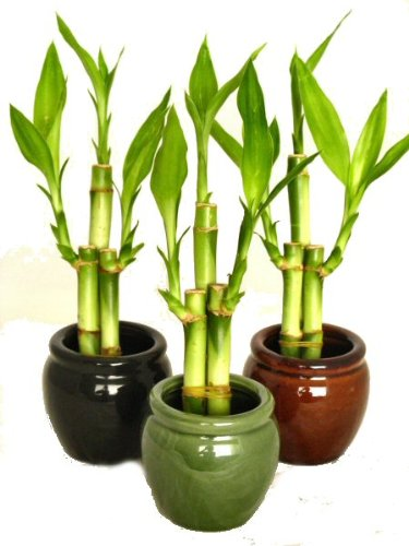 The Best Indoor Plants - Lucky Bamboo