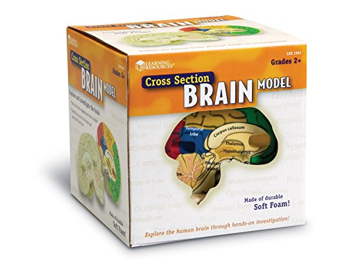Learning Resources Cross-section Brain Model (Brain Model compare prices)