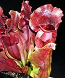 Grow Your Secret Garden Purple Pitcher Plant 5 Seeds,Carnivorous
