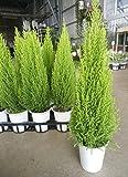 【特選ガーデン鉢セット販売】コニファー ゴールドクレスト ウィルマ 5鉢セット (4号) 【まとめ売り】