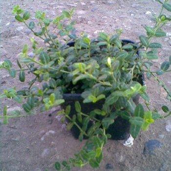 kleinblattrige-kriechspindel-minimus-euonymus-fortunei-minimus-10-15-cm-6-8-m