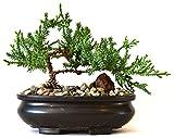9GreenBox - Juniper Tree Bonsai Best Gift