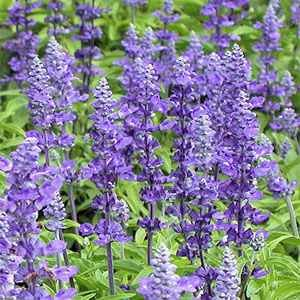 Outsidepride Salvia Blue Victory - 1000 Seeds