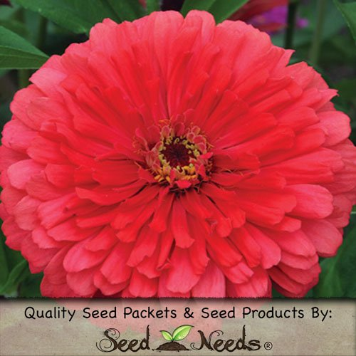 Zinnia Elegans Germination Zinnia Elegans Seeds by