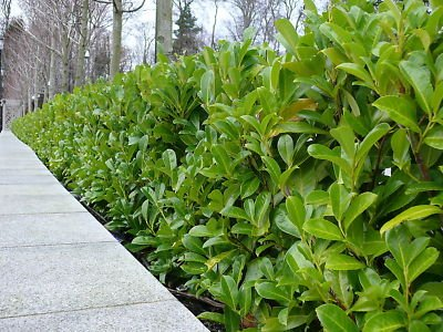 Cherry laurel hedge in an urban area.