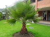 Washingtonia robusta Zimmerpalme Gartenpalme Einstämmig 120-140cm. Eine der schnellwachsendsten Palmen