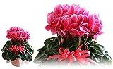 シクラメン 鉢植え 6号鉢 花 濃いピンク お歳暮 冬ギフト