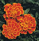 Flower Marigold Queen Sophia, Tagetes patula, 100 Seeds by David's Garden Seeds